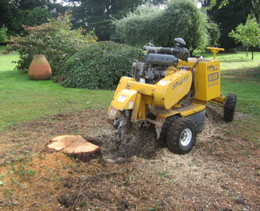 Tree stump in private garden before being ground